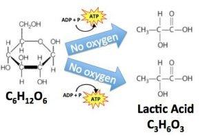 lactic_acid_fermentation