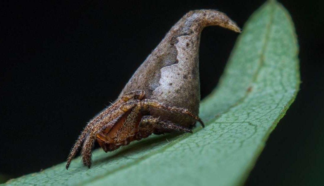Spesis baru labah-labah dinamakan sempena Topi Sakti HARRY POTTER