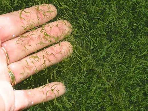 Alga biru-hijau  (Aphanizomenon flos-aquae (AFA) ): Ubat Pelbagai Penyakit?