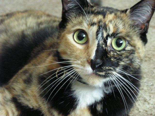 Betulkah Cuma Ada Kucing Betina yang Berwarna Hitam-Oren?