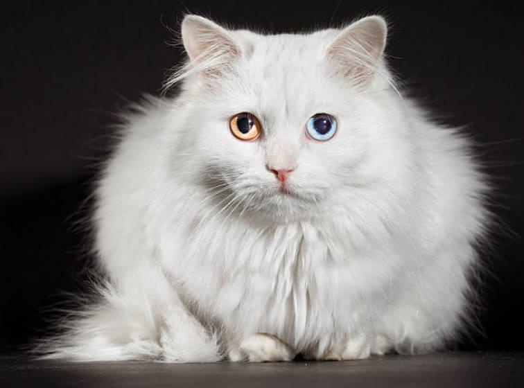 Kucing Heterochromia