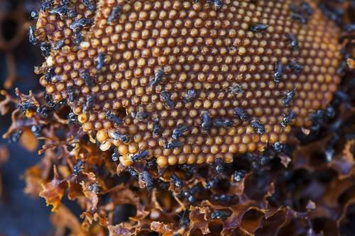 Sisi Sebenar Si Lebah Kelulut