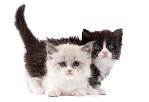 Kucing Munchkin Yang Comel