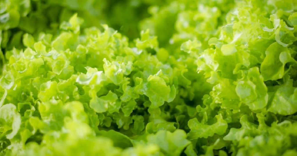 cara tanam salad yang mudah