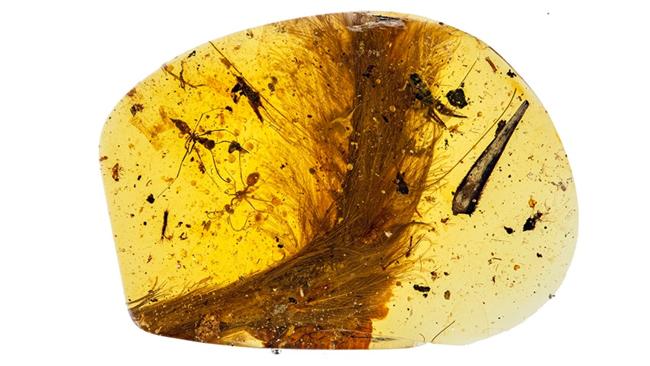 Fosil bulu dinosaur di dalam amber (cecair pokok) yang ditemui di Myanmar