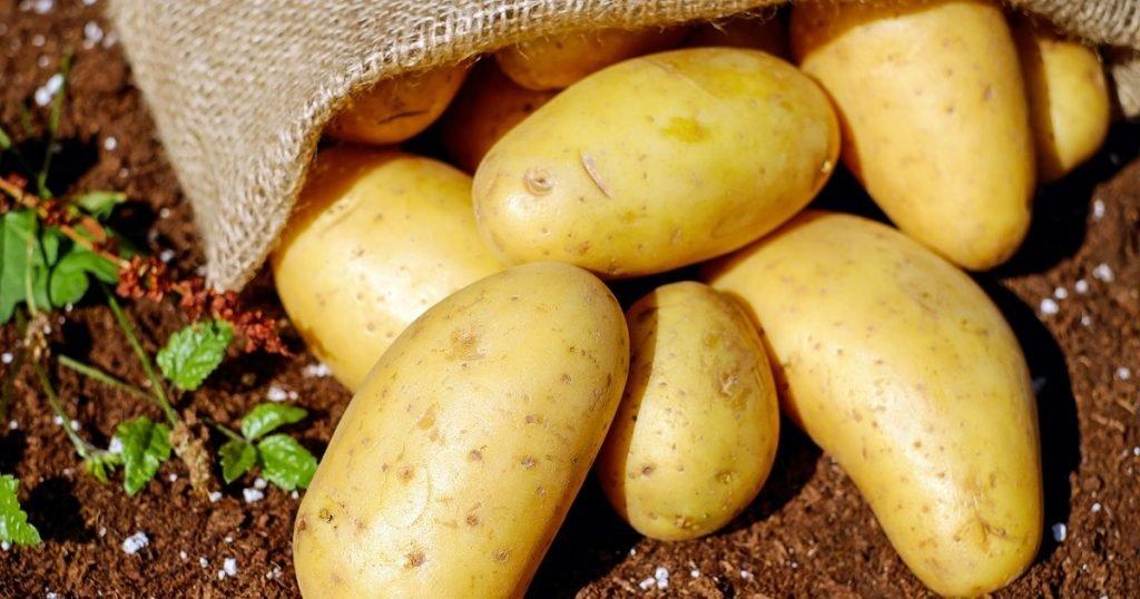 cara tanam kentang