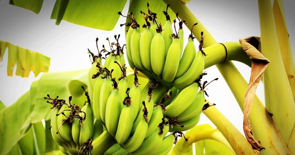 cara tanam pokok pisang