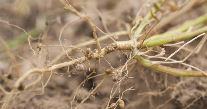 Akar tanah tumbuhan legum yang meningkatkan nitrogen dalam tanah