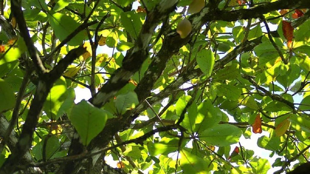 spesies pokok ketapang