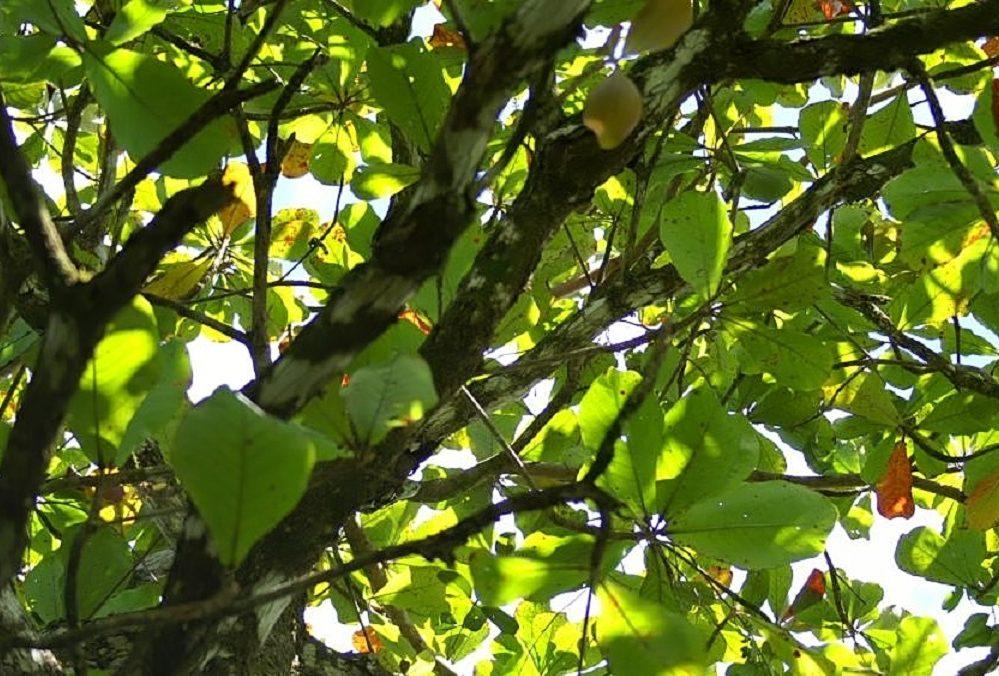 Pokok Ketapang: Spesies, Ciri-ciri dan Kegunaan