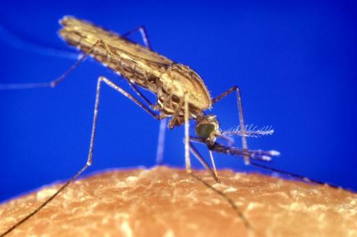 nyamuk-anopheles punca malaria