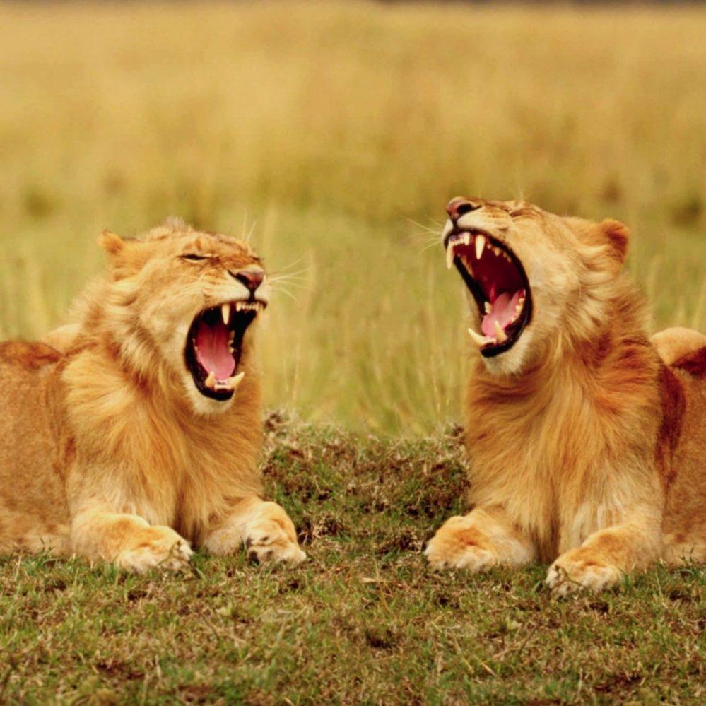Menguap Membantu Singa Untuk Selarikan Pergerakan Dalam Kumpulan
