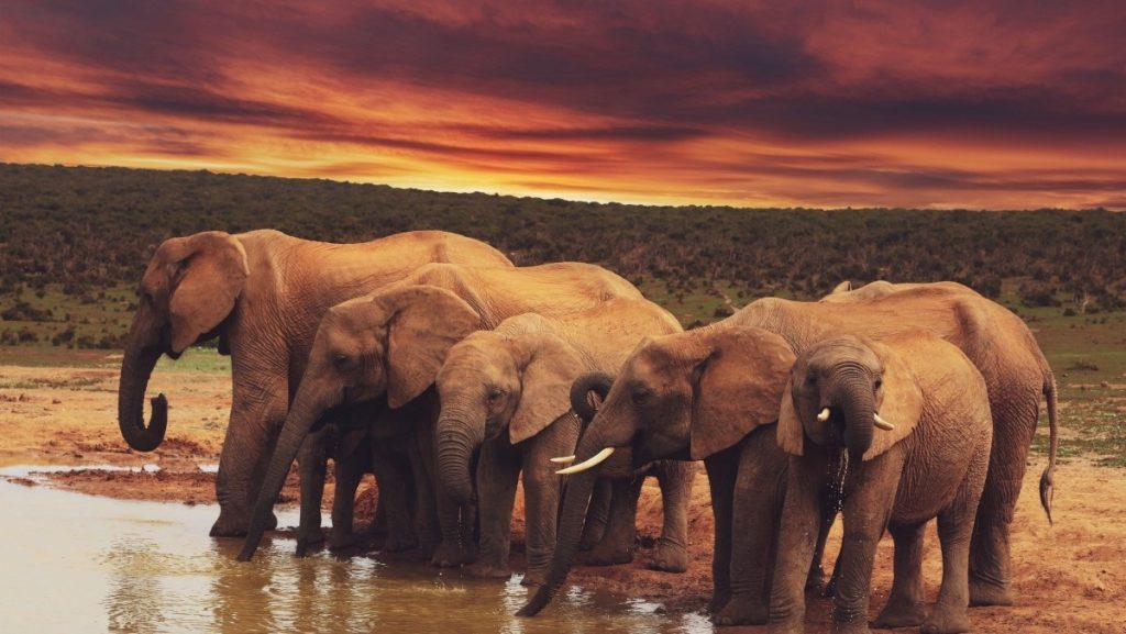 spesies gajah