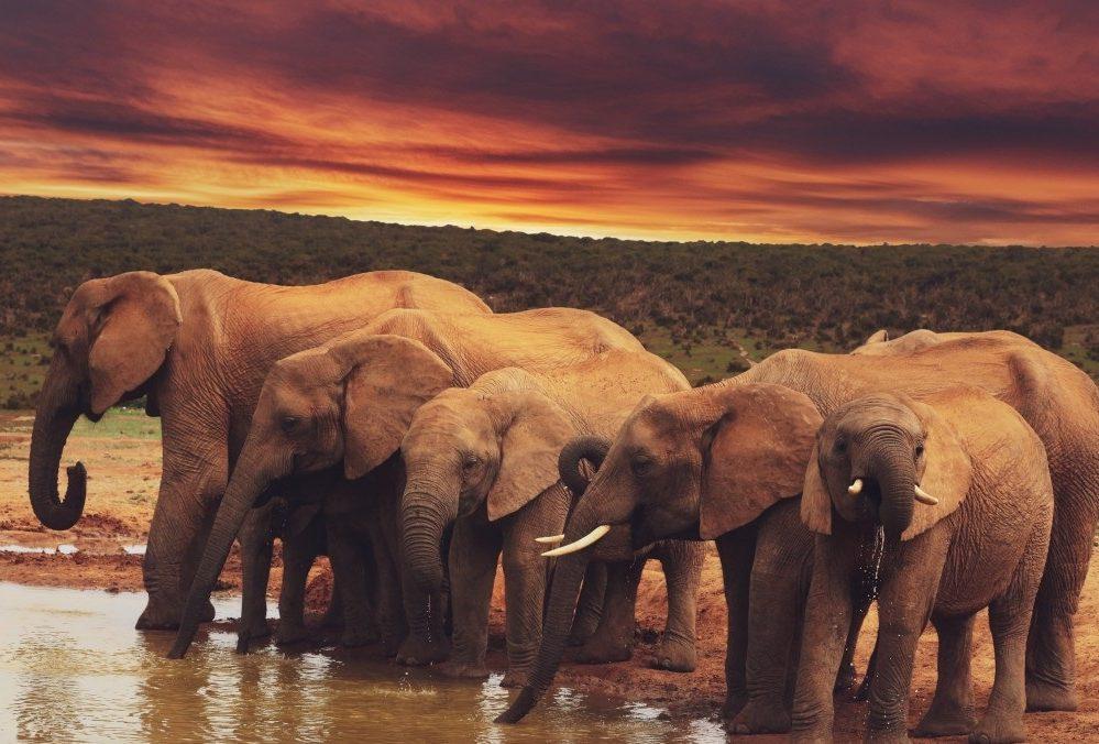 Gajah: Spesies, Ciri-ciri dan Kelakuan