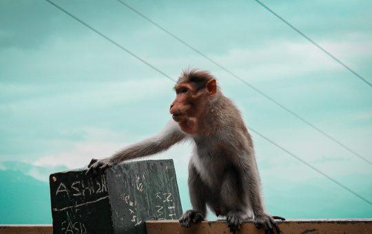 spesies monyet