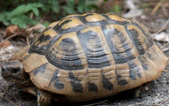 spesies kura-kura
