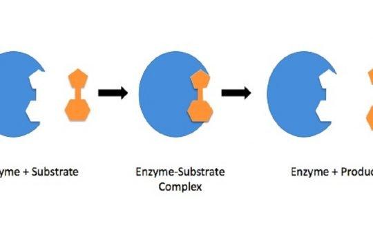 fungsi enzim
